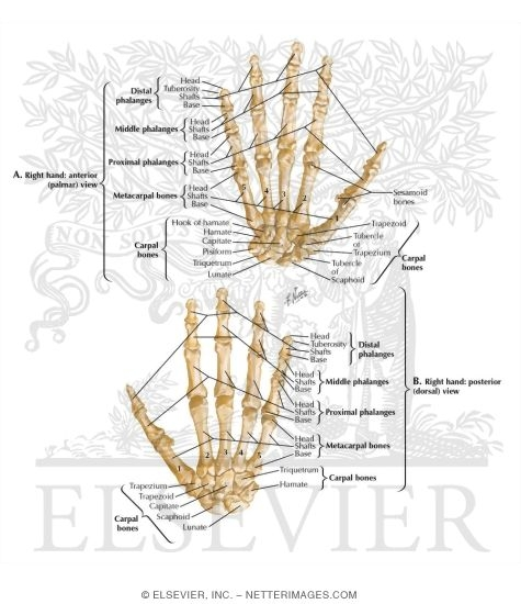 Illustration of Bones of Wrist and Hand from the Netter Collection