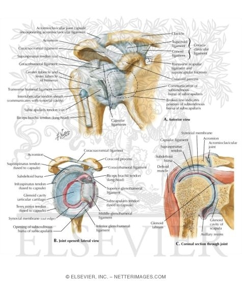 Joints And Ligaments Of The Shoulder
