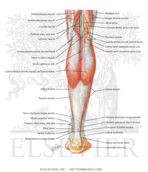 Muscles of Leg (Superficial Dissection): Posterior View
