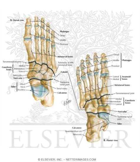 Bones of Foot