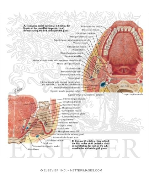 Sections Through Mouth and Jaw - At Atlas Level and Behind First ...