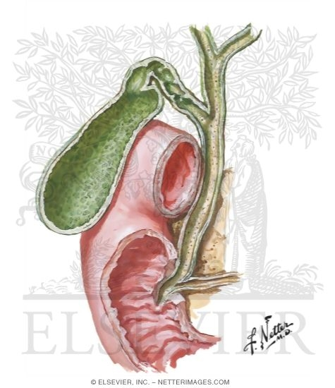 Bile Ducts And Pancreatic Duct