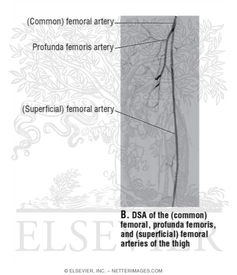 DSA of the (Common) Femoral, Profunda Femoris, and (Superficial ...