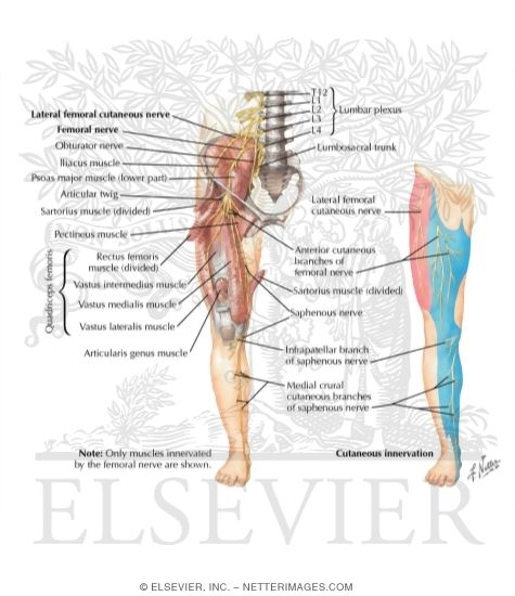 Illustration of Femoral Nerve and Lateral Femoral Cutaneous Nerves from the Netter Collection