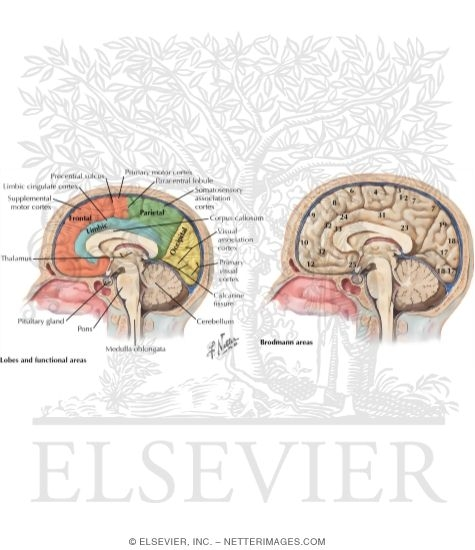 Illustration of Cerebral Cortex (Medial Surface of Brain Lobes and Functional Areas) from the Netter Collection