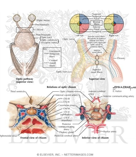 anatomy and relations of optic chiasm, Human Body