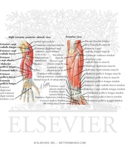 Upper Extremity Muscle Diagram Labeling - DIY Enthusiasts Wiring ...