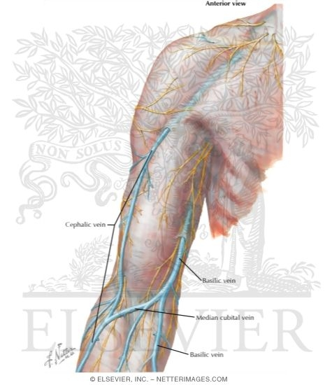 Vascular Supply: Upper Limb