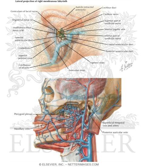 venous drainage of the inner ear, Skeleton