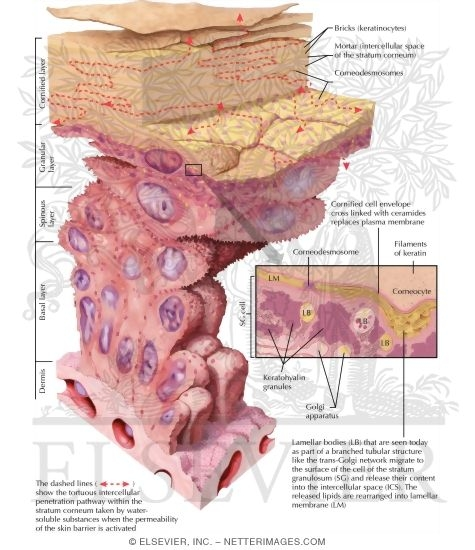 Skin Physiology - The Process of Keritinization