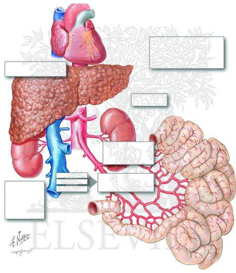 hepatorenal syndrome: proposed pathophysiology, Skeleton