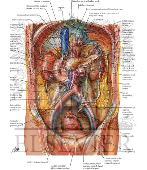 sheep stomach diagram peritoneum of posterior abdominal wall