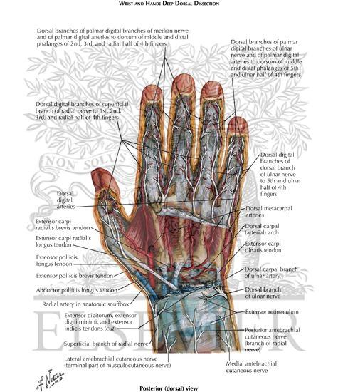 Dorsal wrist anatomy