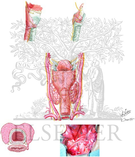 larynx anatomy netter - photo #44