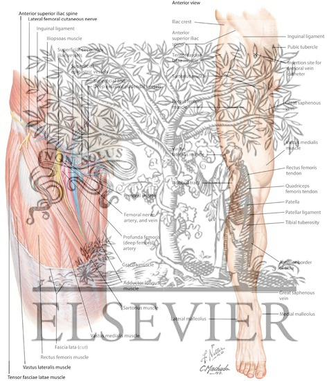 Femoral Vein And Inguinal Anatomy And Site For Catheter Insertion