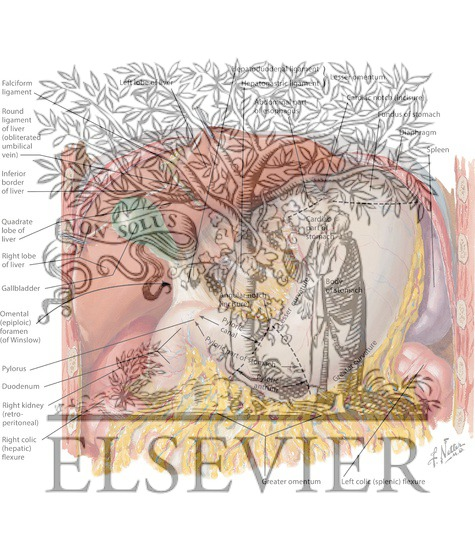 Stomach  Liver  And Gallbladder