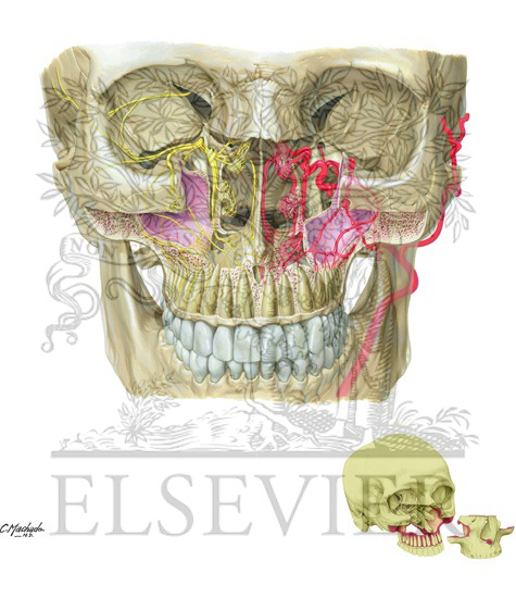 Illustration of Pterygopalatine Fossa from the Netter Collection