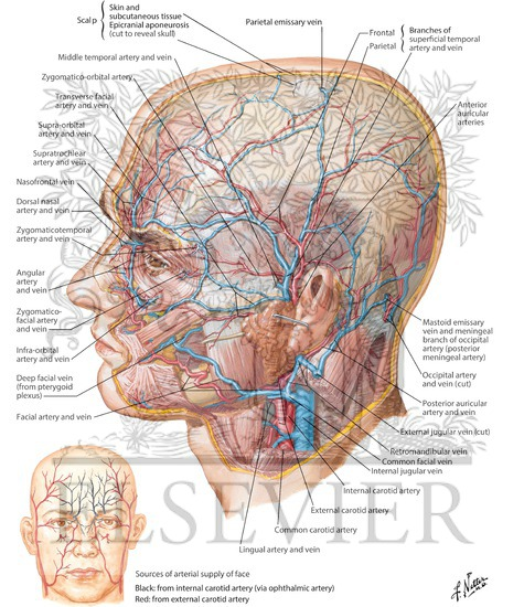 Superficial Arteries and Veins of Face and Scalp