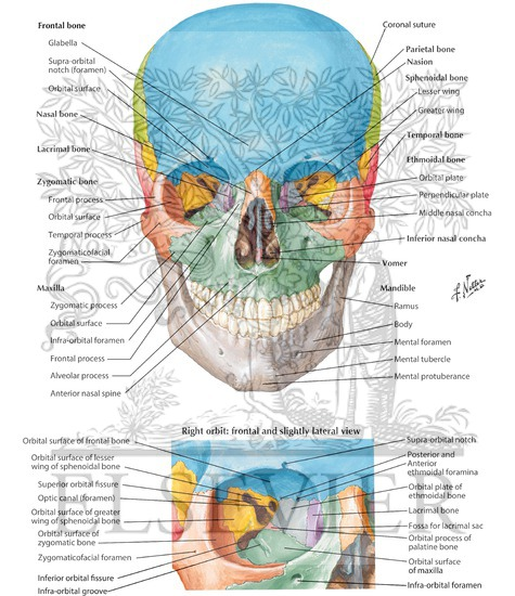 Anterior Aspect Of Skull