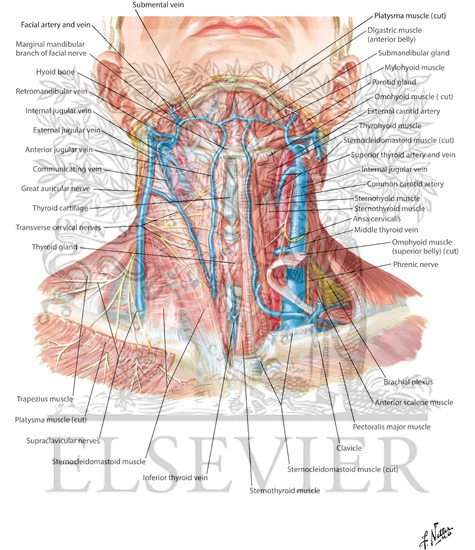 Veins And Cutaneous Nerves Of Neck