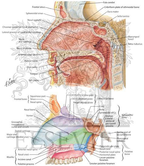 Medial Wall Of Nasal Cavity Nasal Septum