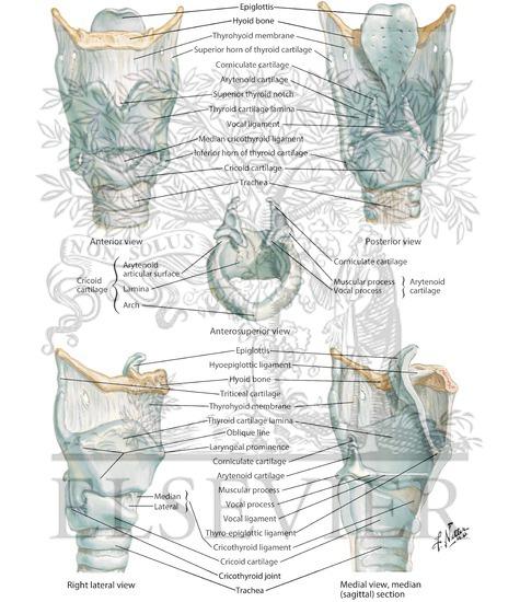 larynx anatomy netter - photo #7