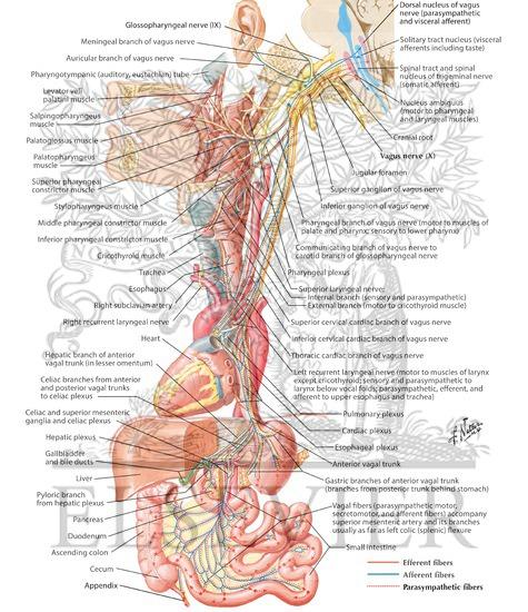 Vagus Nerve (X): Schema