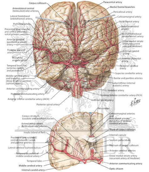 Arteries Of Brain: Frontal View And Section Arterial