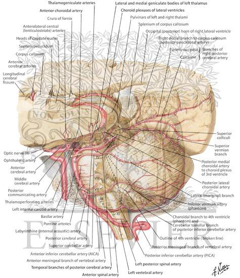 Arteries of Posterior Cranial Fossa