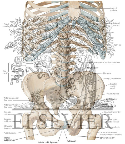 Bony framework of abdomen bony framework of abdominopelvic cavity bony framework of abdomen bony framework of abdominopelvic cavity landmarks and other structures ccuart Images