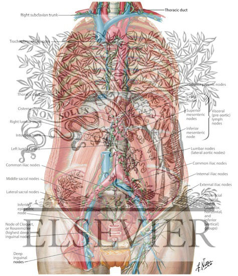 Lymph vessels and nodes of posterior abdominal wall ccuart Images