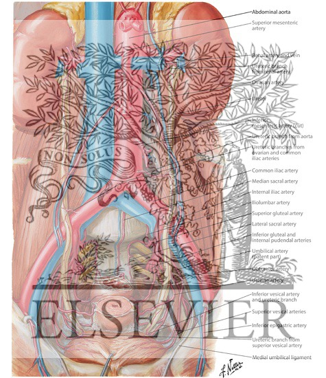 Of Ureters And Urinary Bladder Blood Supply Of Ureters And Bladder