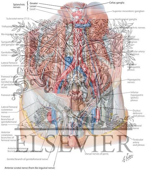 Male external genitalia anatomy - photo#19