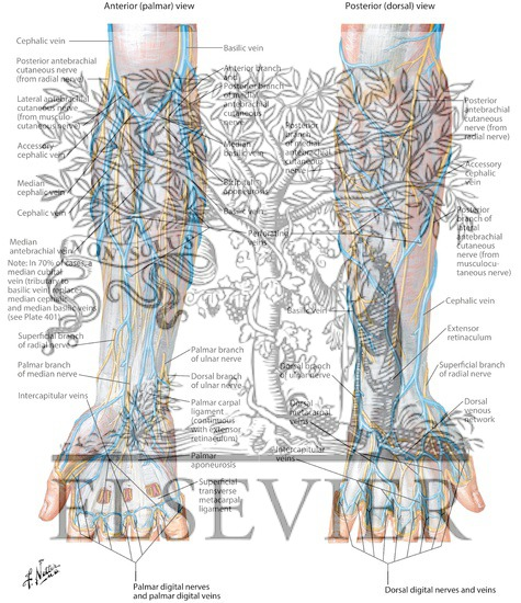 Cutaneous Nerves and Superficial Veins of Forearm