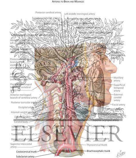 Brain artery anatomy