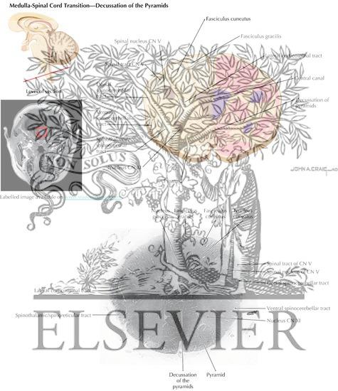 Brain Stem Cross-Sectional Anatomy: Section 1