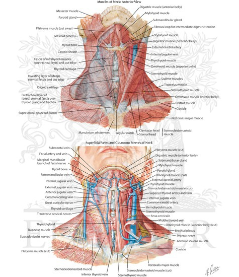 Veins And Nerves Of Neck