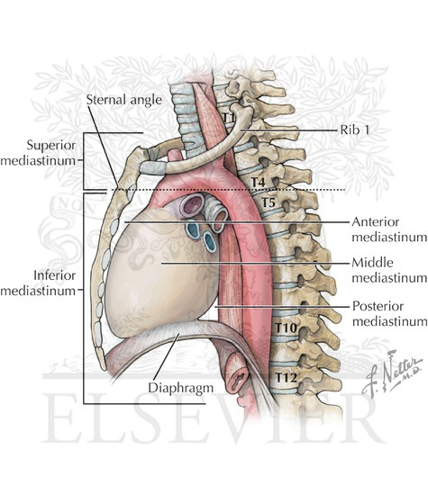 And Heart In Middle Mediastinum Just Posterior To The Sternum Note