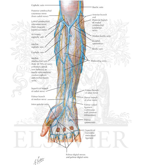 Cutaneous nerves and superficial veins of the forearm