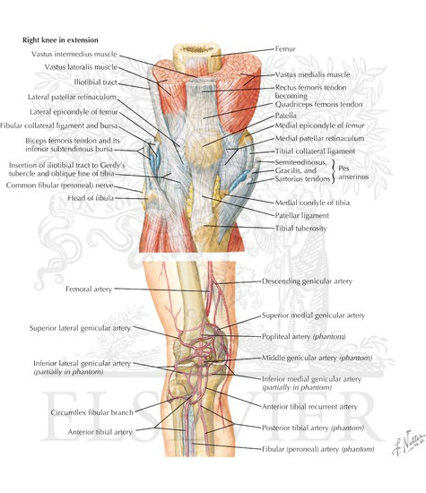 Anatomy Of The Knee Medial And Anterior Views