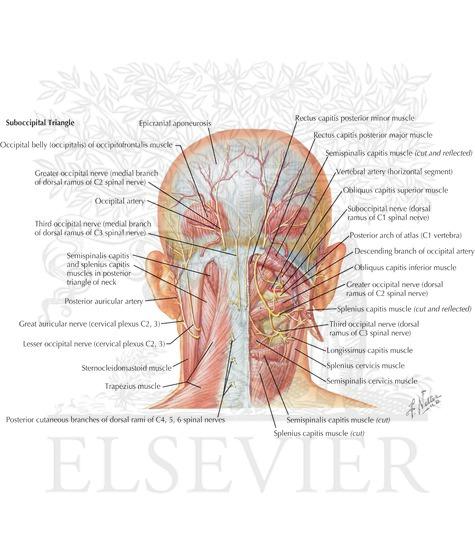 Occipital nerve anatomy