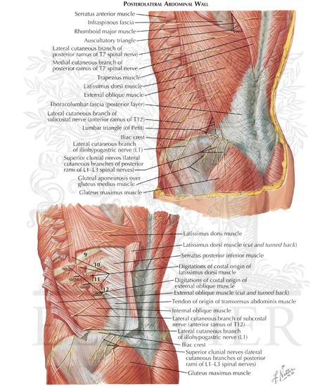 Lumbar Region Showing The Kidney And Quadratus Lumborum Muscle Exposed