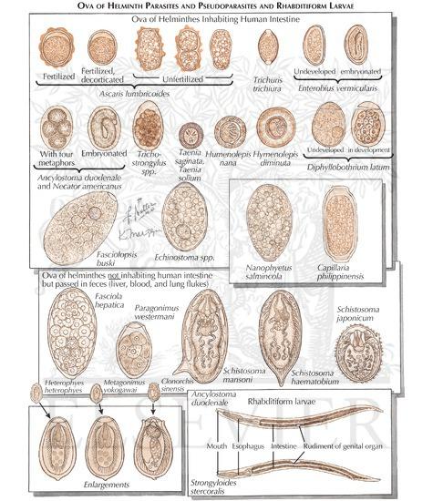 Cele mai simple hemminte (viermi) la om - Profilaxie Helmintele sunt artropode și protozoare