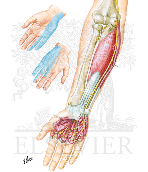 Illustration of Ulnar Nerve from the Netter Collection