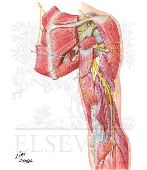 Illustration of Radial Nerve in Arm and Nerves of Posterior Shoulder: Posterior View from the Netter Collection