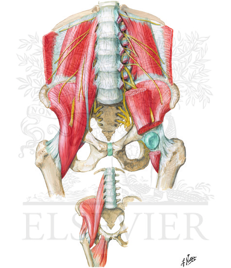 Psoas and Iliacus Muscles