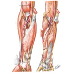 Muscles of Forearm With Arteries and Nerves (Anterior View)