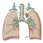 Lymph Vessels and Nodes of Lung