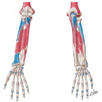 Bony Attachments of Muscles of Forearm