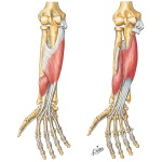 Individual Muscles of Forearm: Flexors of Digits